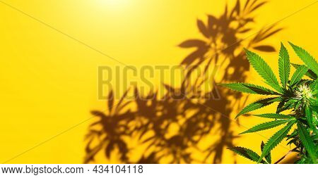 A Cannabis Bush In Bright Light With A Yellow Background With A Shadow. Medicinal Marijuana Leaves O