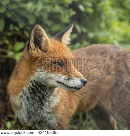 Stunning Close Up Portrait Of Red Fox Vulpes Vulpes With Colorful Background