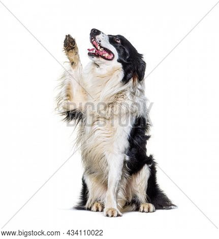 Border collie dog high five and looking up, isolated