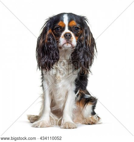 Tri-color Cavalier King Charles dog, sitting and facing at camera, isolated