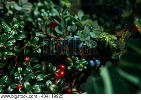 Blueberries And Lingonberries On A Green Bush, Macro Photography. Wild Berry, Macro. Wild Wild Berri
