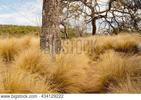 Hidden Trail Cuts Around Trunk Of Tree In Field Along The South Rim Of The Chisos Mountains In Big B