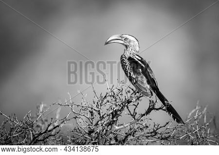 Mono Southern Yellow-billed Hornbill Perched In Profile