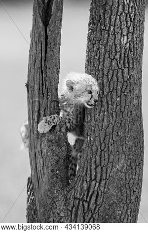 Mono Cheetah Cub Stands Between Tree Branches
