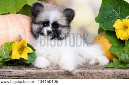 Purebred Spitz breed pomeranian; small fluffy white black dog