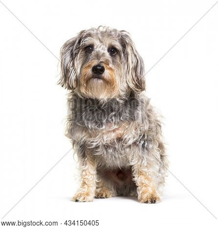 Mixed-breed dog, sitting in front of white background