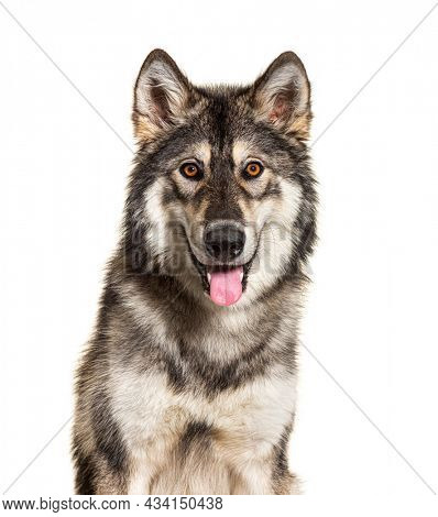 Close-up portrait of Northern Inuit Dog panting, looks like a wolf, isolated on white