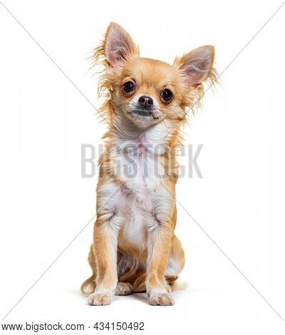 Head shot beige chihuahua dog looking at camera sitting, isolated on white