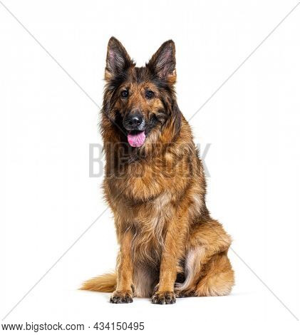 Old German shepherd dog, sitting and panting, isolated on white