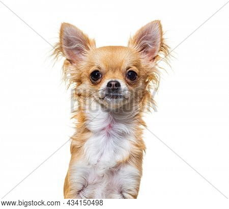 Beige chihuahua dog looking at camera sitting, isolated on white