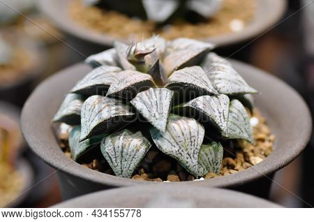 Haworthia ,haworthia Akanko Or Cactus Or Succulents