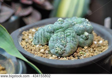 Peyote Cactus, Lophophora Or Cactus Plant Or Peyote Plant