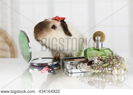 Funny Guinea Pig Looks In A Cosmetic Mirror At The Makeup Table