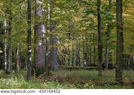 Old And Huge English Oaks In Autumn With Broken Spruce In Foreground, Bialowieza Forest, Poland, Eur