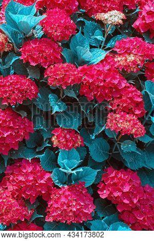 Surreal Blue Flora. Red Flowers Of Hydrangea In Garden