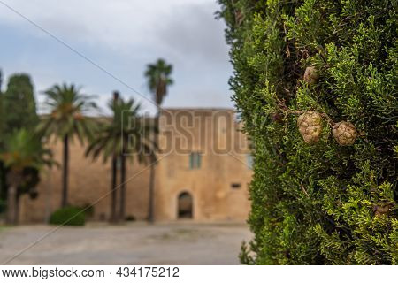 Close-up Of A Cypress Tree And In The Background Out Of Focus The Main Facade Of The Manacor History