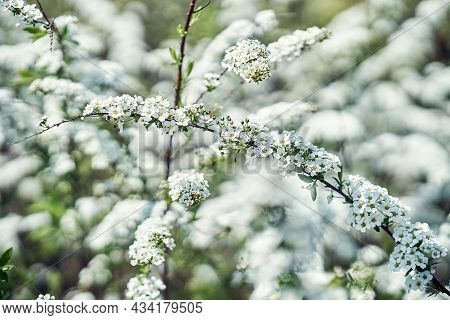 Thin Twigs Of Apple Tree With White Small Aromatic Blooming Flowers Growing In Fresh Garden On Nice