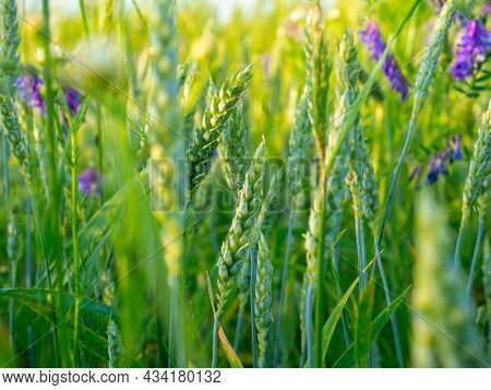 A Daytime Landscape Of Grass And Flowers And A Field. Summer, Selective Focus