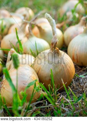 Close-up Of Onion Bulbs Laid Out On The Grass In The Setting Sun In Summer. Harvest, Vegetable, Spic