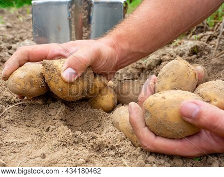 Close-up Of Fresh Potatoes Dug Out Of The Ground In The Hands. A Shovel In The Background. The Conce