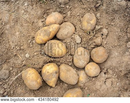 Close-up Of Several Potato Tubers Dug Out Of The Ground. Harvesting, Top View, Flat Lay