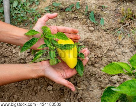 Women's Hands Hold A Sweet Yellow Pepper Hanging On A Branch. Gardening, Harvest, Rural Areas. Delic