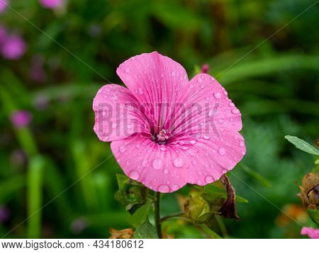 Close Up Of A Blooming Pink Petunia Flower Covered With Drops After Rain