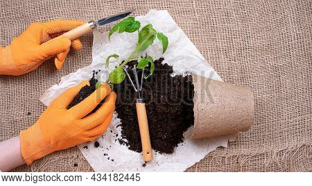 Young Plants Sowing In Pots. Replanting Tomato Seedlings. Rake And Shovel On Paper And Burlap Backgr