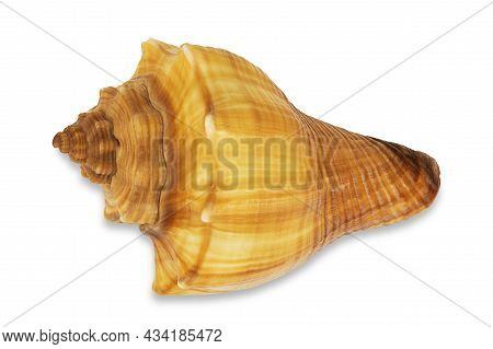 Red Conch Shell On White Background With Clipping Path