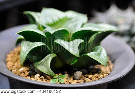 Haworthia ,haworthia Akanko Or Cactus Or Succulent In The Flower Pot