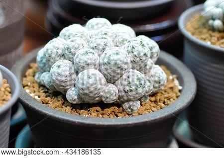 Mammillaria ,mammillaria Plumosa Or Cactus Plant In The Flower Pot