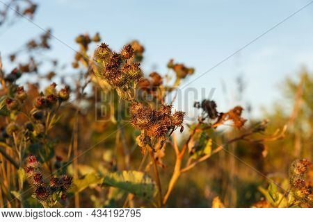 Dry Greater Burdock. Dry Burdock Against The Sky At Sunset.