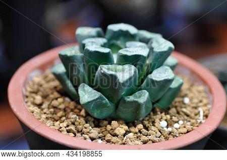 Haworthia ,haworthia Truncata Or Cactus In The Flower Pot