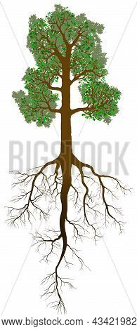 Detailed Oak Tree With Leaves, Trunk And Root Isolated On White Background. Example Of Taproot Syste
