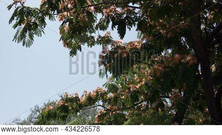 Persian Silk Tree Or Pink Silk Tree (albizia Julibrissin) On A Sky Background, Greece, Halkidiki