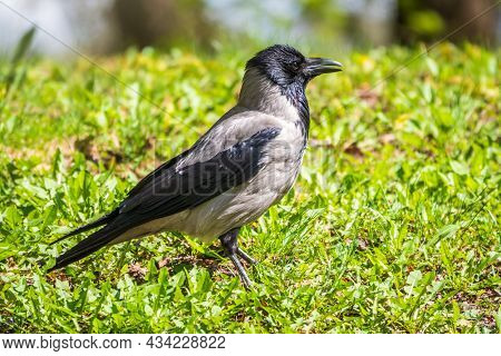 Black Crow Walks On Green Lawn. Raven On Grass. Wild Bird On Meadow.