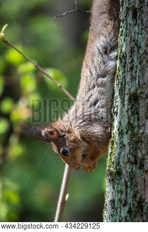 Squirrel Eats A Nut While Sitting Upside Down On A Tree Trunk. The Squirrel Hangs Upside Down On A T