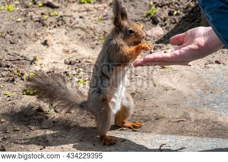 Squirrel In The Spring Or Autumn Eating Nuts From A Man's Hand. Eurasian Red Squirrel, Sciurus Vulga