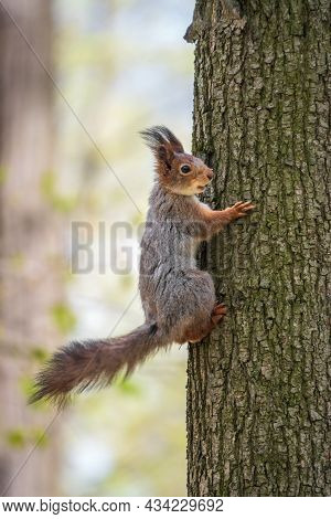 The Squirrel Sits On A Tree Trunk In The Spring. Eurasian Red Squirrel