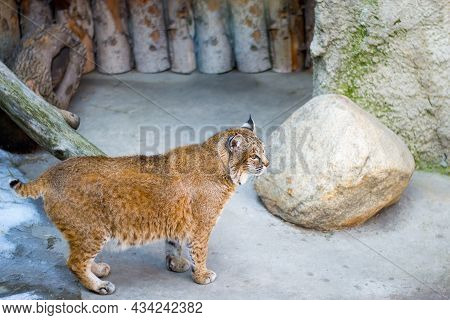 Fluffy Lynx On A Background Of Rocks And Wood. Wild Cat With Red Hair Color. Genus Of Predatory Mamm