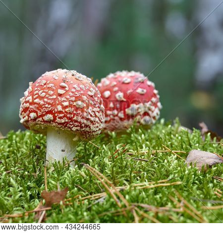 Toadstools (amanita Muscaria) Grow On The Forest Floor In Autumn