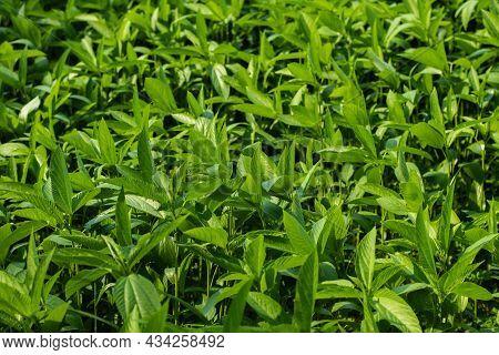 Corchorus Olitorius- Tossa Jute, Jew's Mallow, Nalta Jute-plant Or Ewedu Leaf Are Mallow Leaf, Jute
