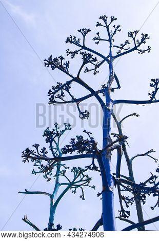 Blue Painted Agaves Under Blue Sky In Rodalquilar, Cabo De Gata-nijar Natural Park In Spain