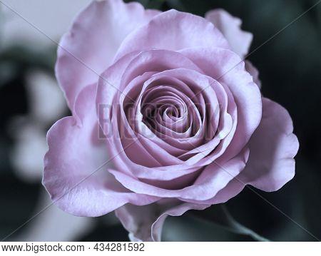Rose Color Soft Pink Nature Flower Valentine