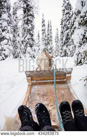 Reindeer safari in beautiful winter forest in Finnish Lapland