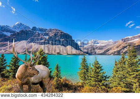Deer with branched antlers grazes in the tall autumn grass. Pine trees around glacial lake with azure clear water. Lake Bow. The majestic Rocky Mountains of Canada