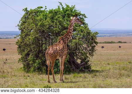 Giraffe with small horns and spotted skin in african savannah. Jeep Safari Masai Mara, Kenya. The concept of active, environmental and photo tourism