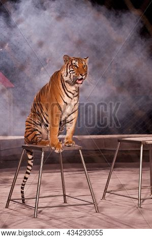 A Circus Tiger Obediently Sits On A Pedestal In The Arena. The Grid Is Stretched Around The Perimete