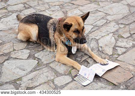 Santiago De Compostela, Spain; August 3, 2021: Pilgrim Dog Looking At The Compostela A Document Of T