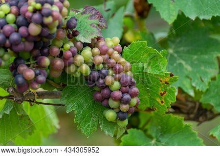 Pinot Noir Wine Grapes Ripening On Grand Cru Vineyards Of Famous Champagne Houses In Montagne De Rei